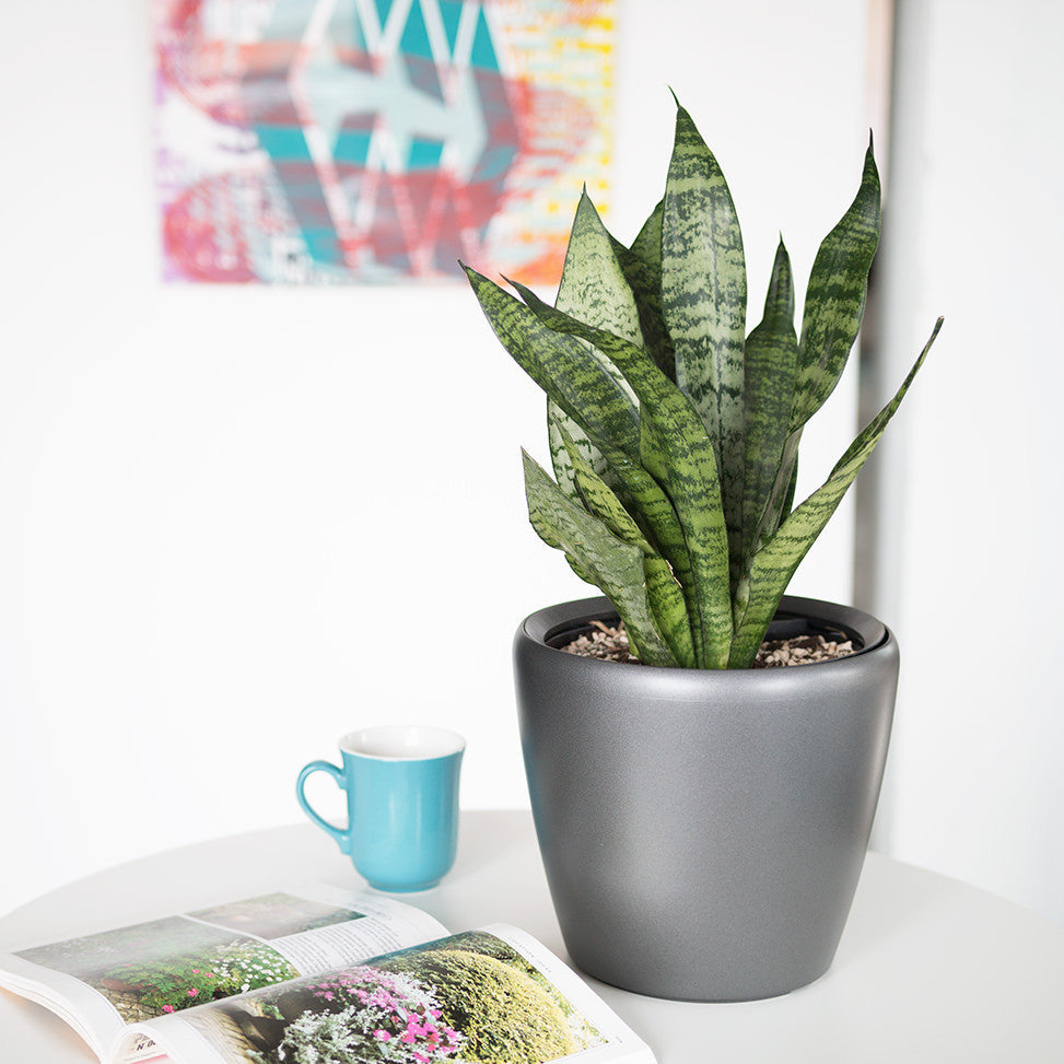 Sansevieria  Classico Mini Charcoal Metallic