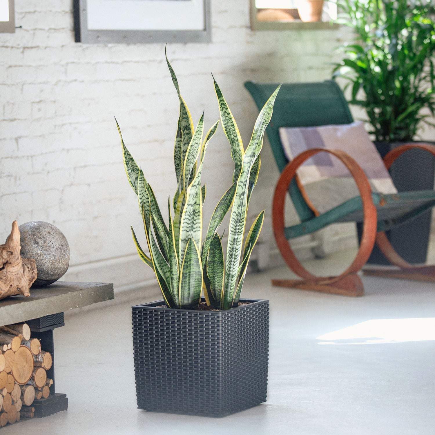 Sansevieria plant potted in Lechuza Cubico Cottage granite planter - My City Plants
