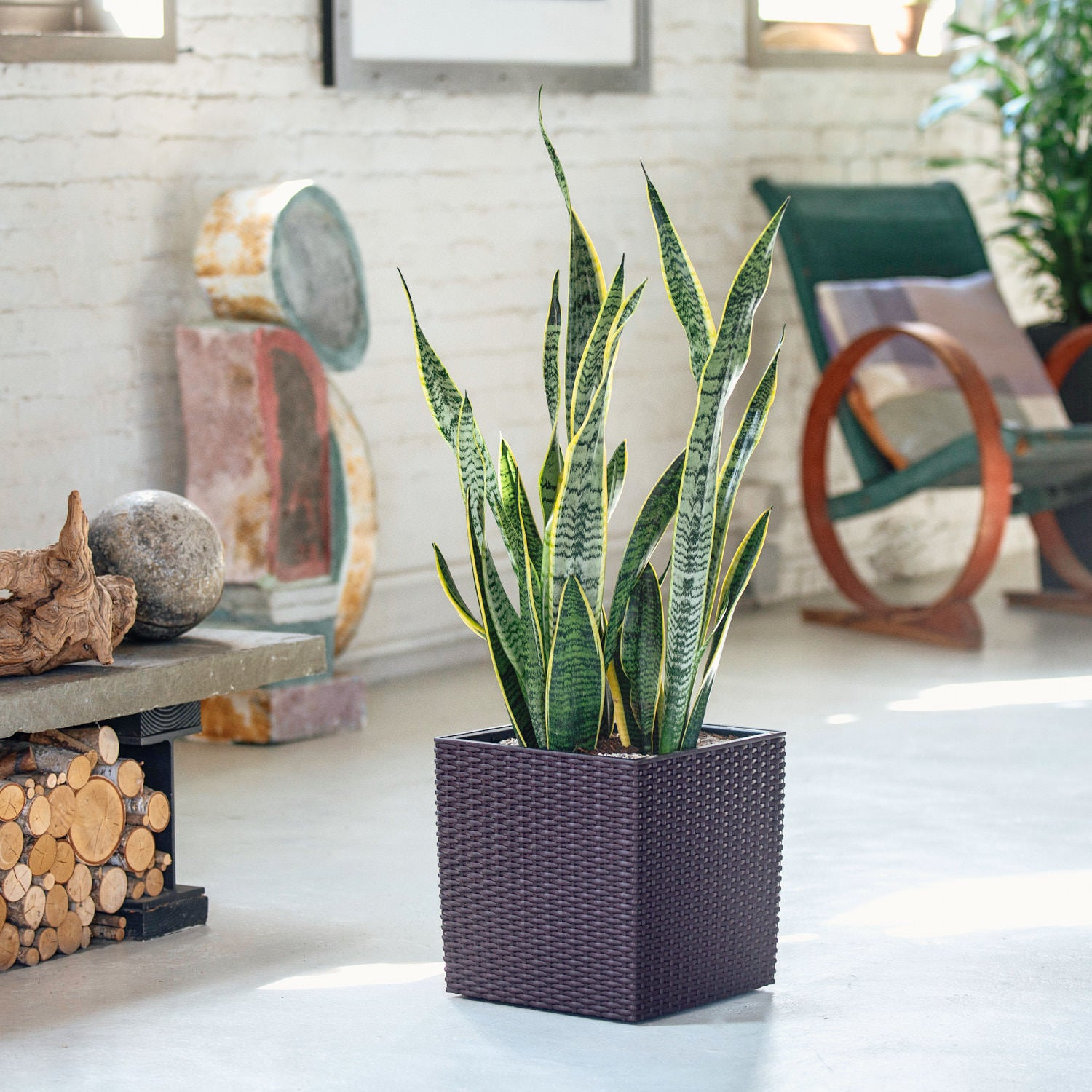 Sansevieria plant potted in Lechuza Cube Cottage mocha planter - My City Plants