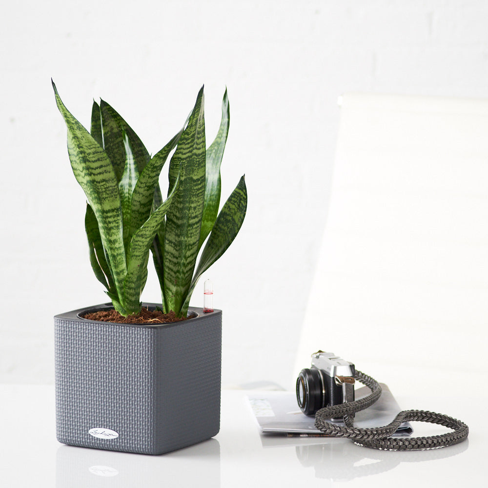 Snake Plant Placed In Lechuza Slate Cube Planter - My City Plants