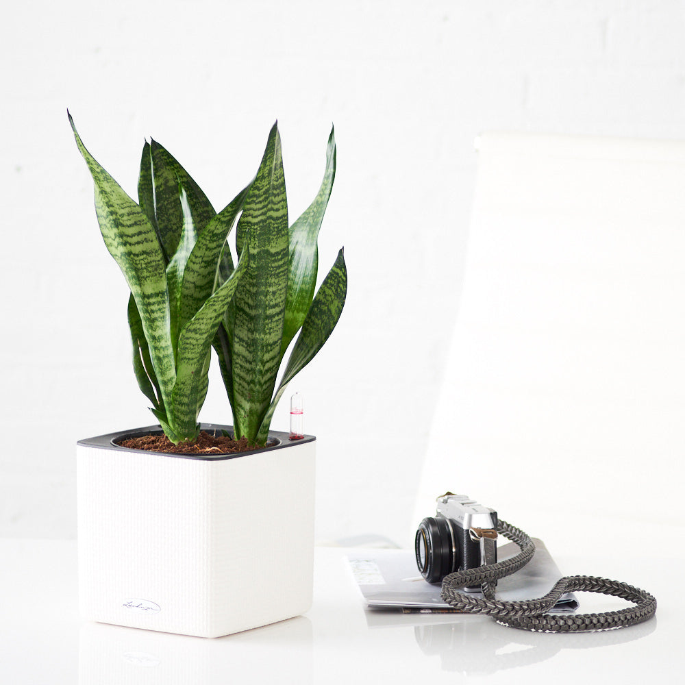 Snake Plant Placed In Lechuza White Cube Planter - My City Plants