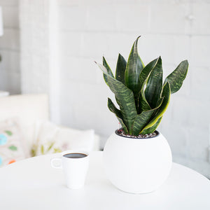 Sansevieria Puro Mini White