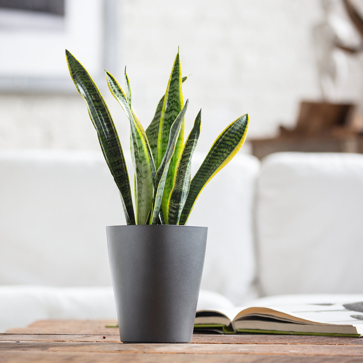 Sansevieria Potted In Lechuza Deltini Charcoal Planter - My City Plants