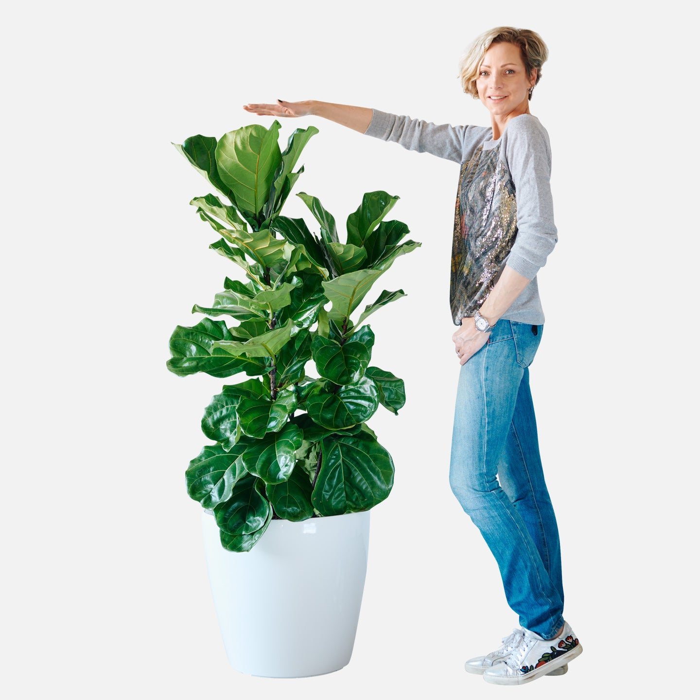 Fiddle Leaf Fig Bush In Classico 50 White Planter | My City Plants