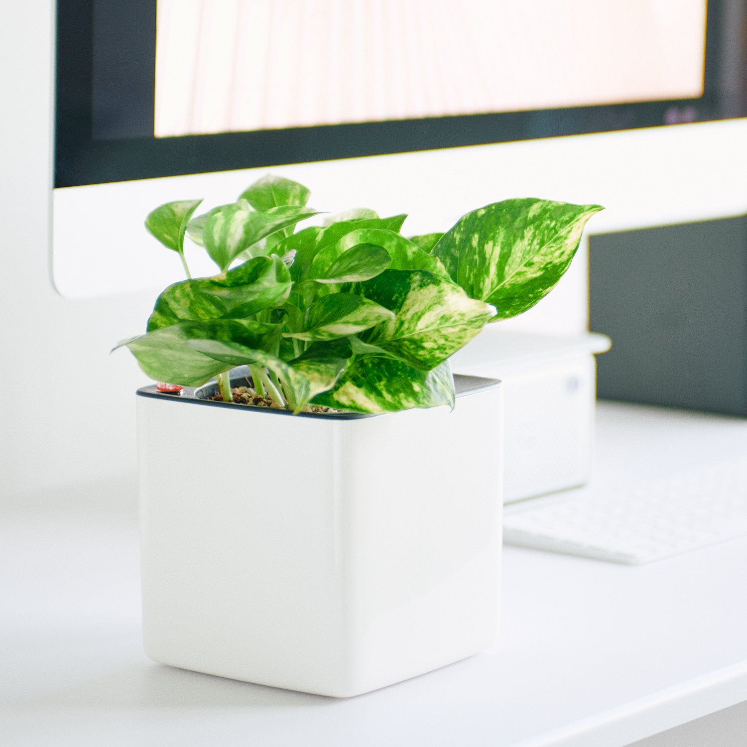 Pothos Variegated In Lechuza Cube Glossy White Planter | My City Plants