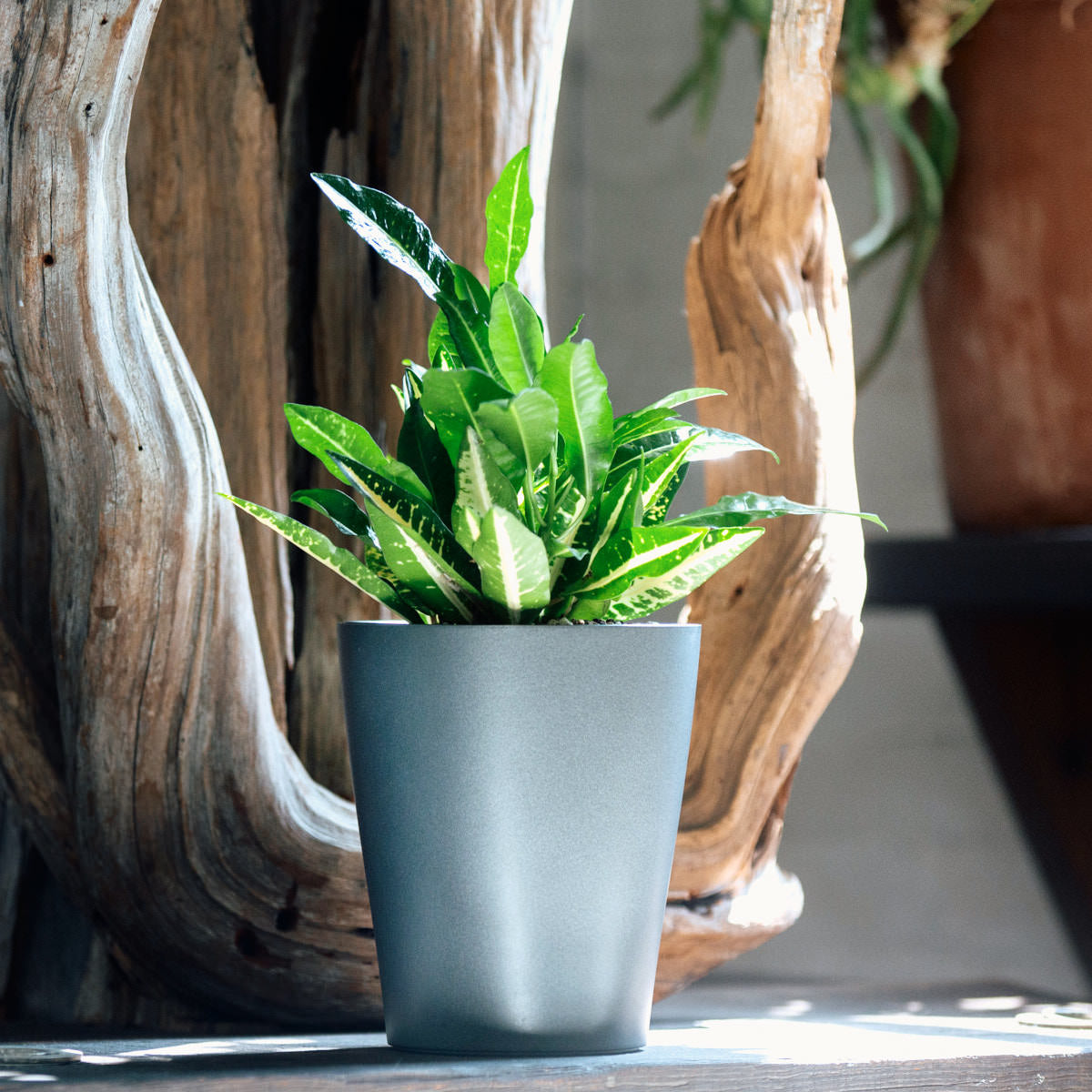Yellow Croton plant potted in Lechuza Lechuza Deltini charcoal metallic planter - Shop Online - My City Plants