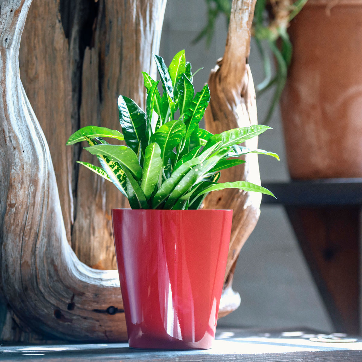 Yellow Croton plant potted in Lechuza Lechuza Deltini red planter - Shop Online - My City Plants