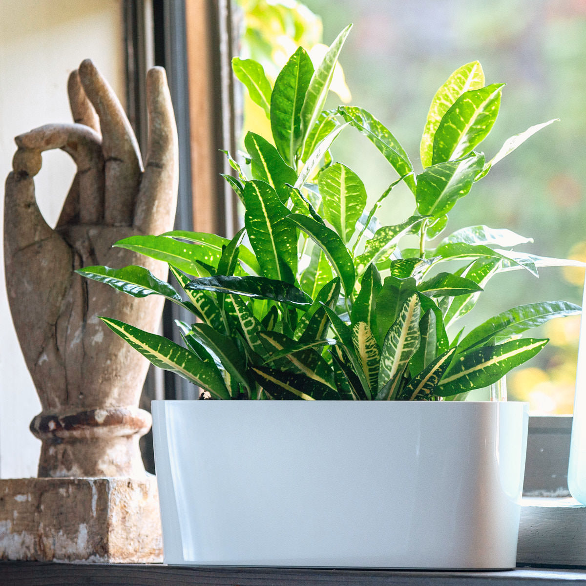 Yellow Croton plant potted in Lechuza windowsill mini white planter - Shop Online - My City Plants