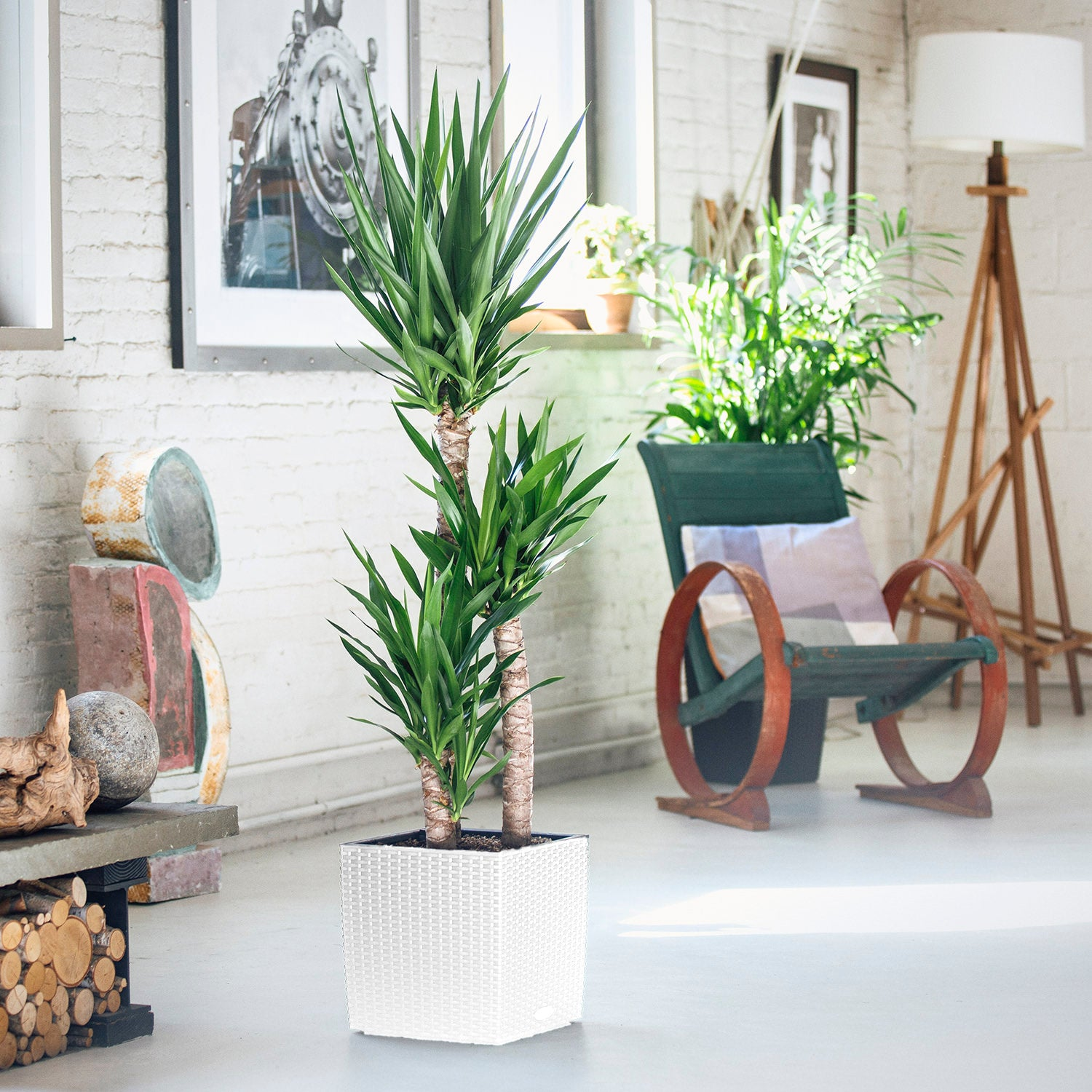 Yucca Plant In Lechuza Cube Cottage White Planter | My City Plants