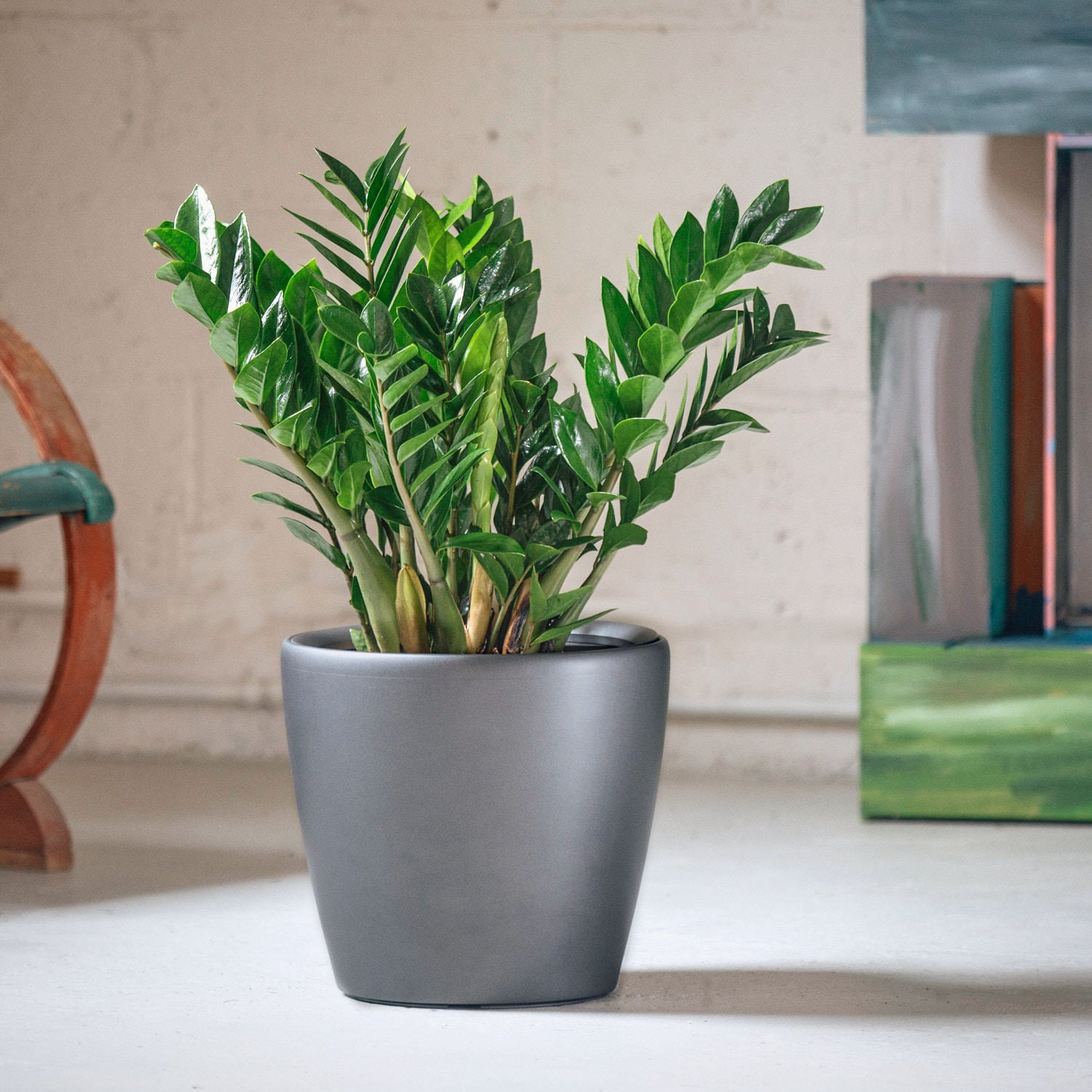 ZZ plant potted in Lechuza Classico charcoal metallic planter - My City Plants