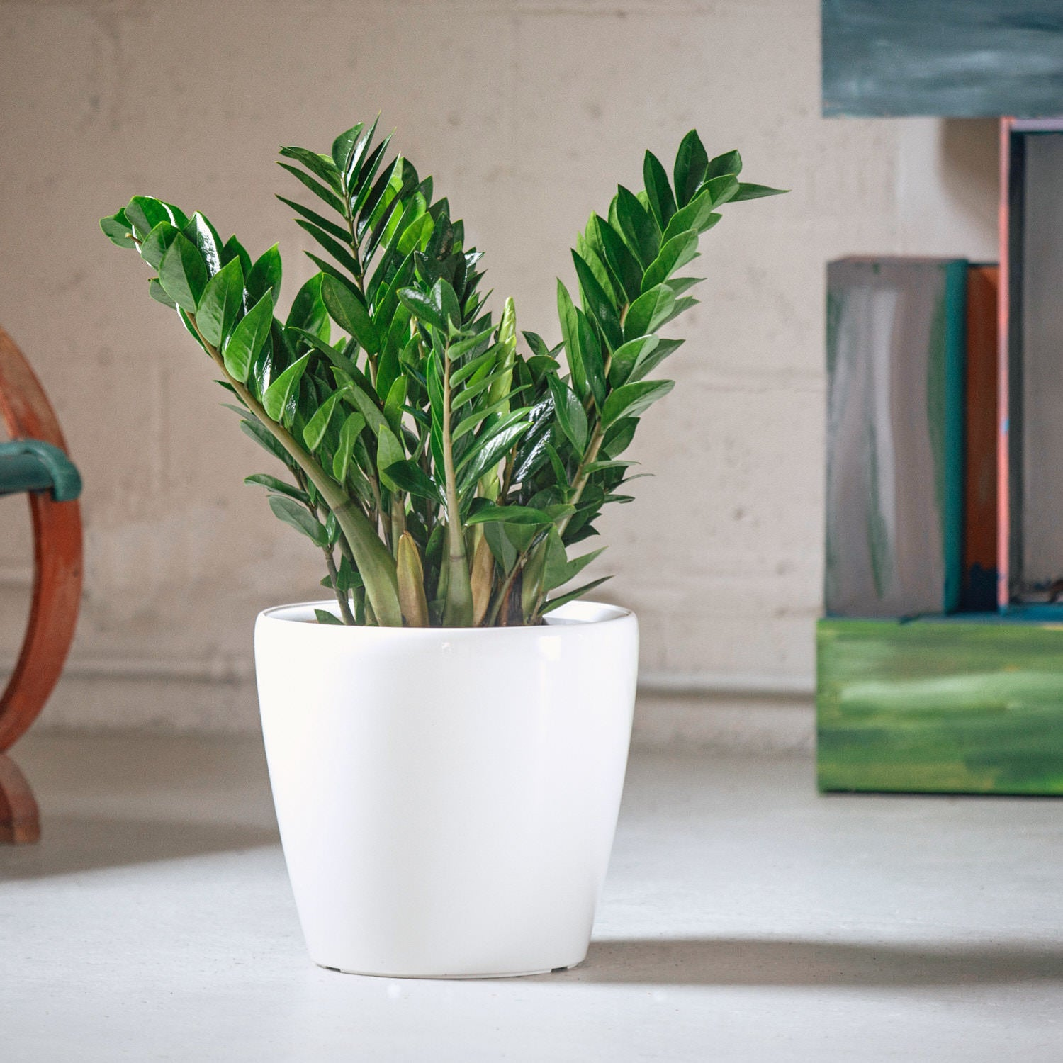 ZZ plant potted in Lechuza Classico white planter - My City Plants
