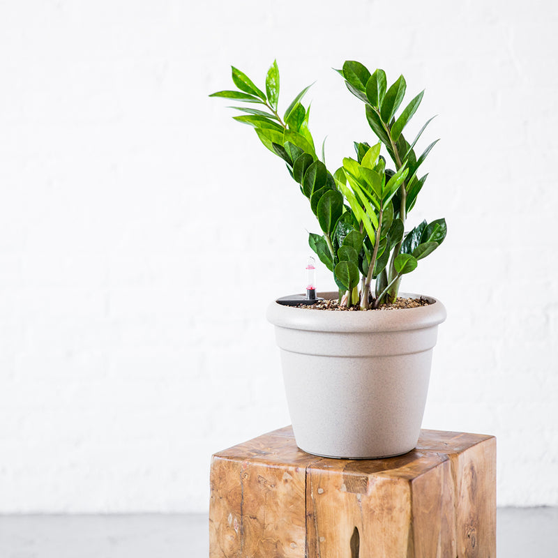 Zz Plant Potted In Rustico Beige Mini Planter My City Plants