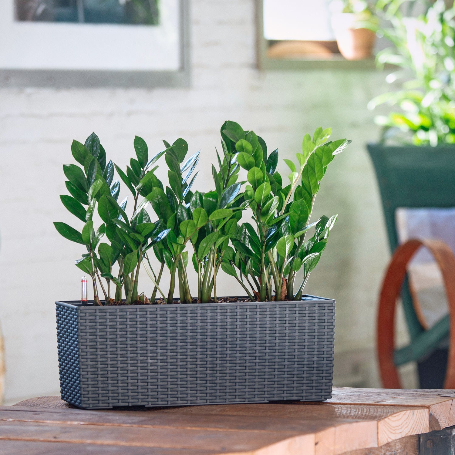 ZZ plant potted in Lechuza Balconera Cottage granite planter - My City Plants