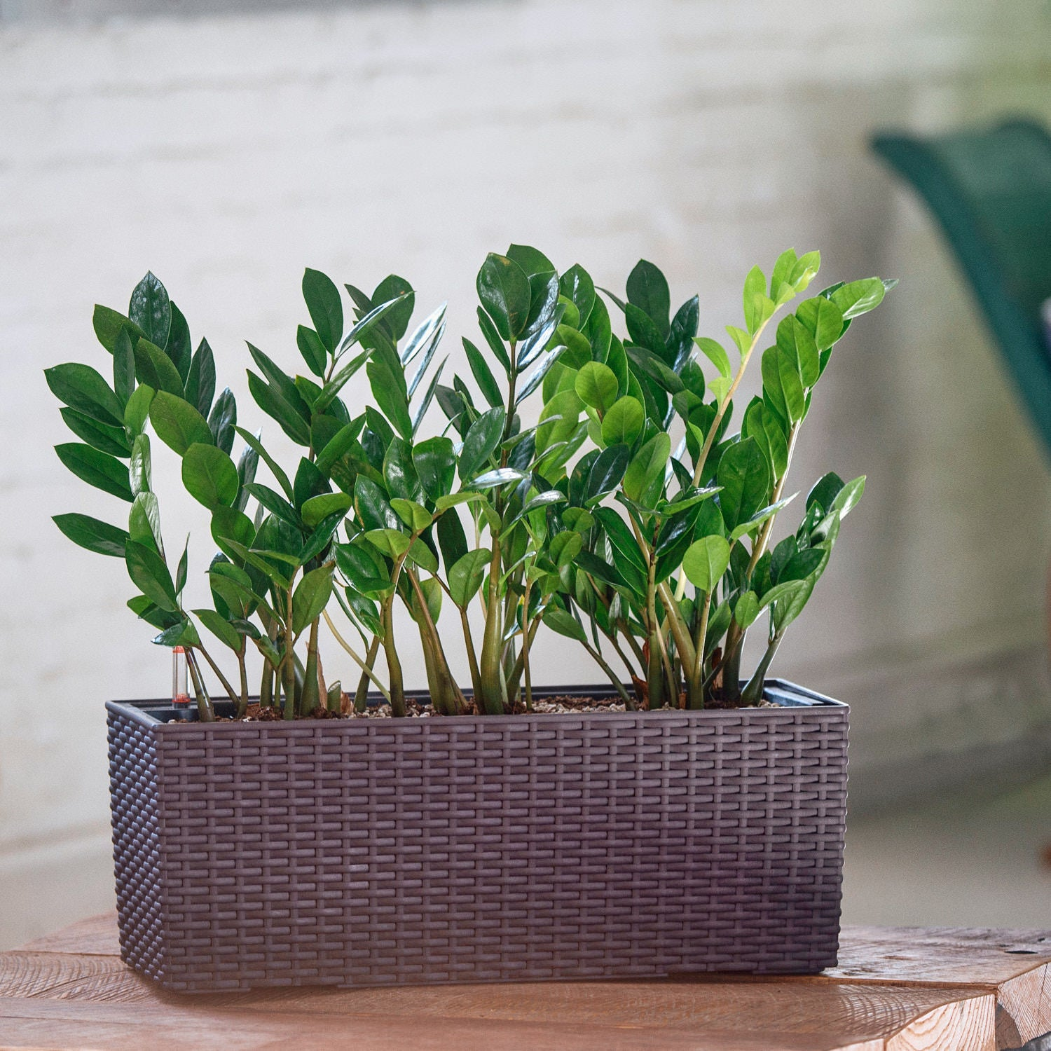 ZZ plant potted in Lechuza Balconera Cottage mocha planter - My City Plants