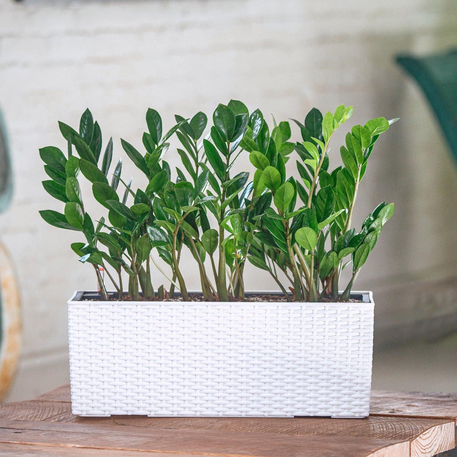 ZZ plant potted in Lechuza Balconera Cottage white planter - My City Plants
