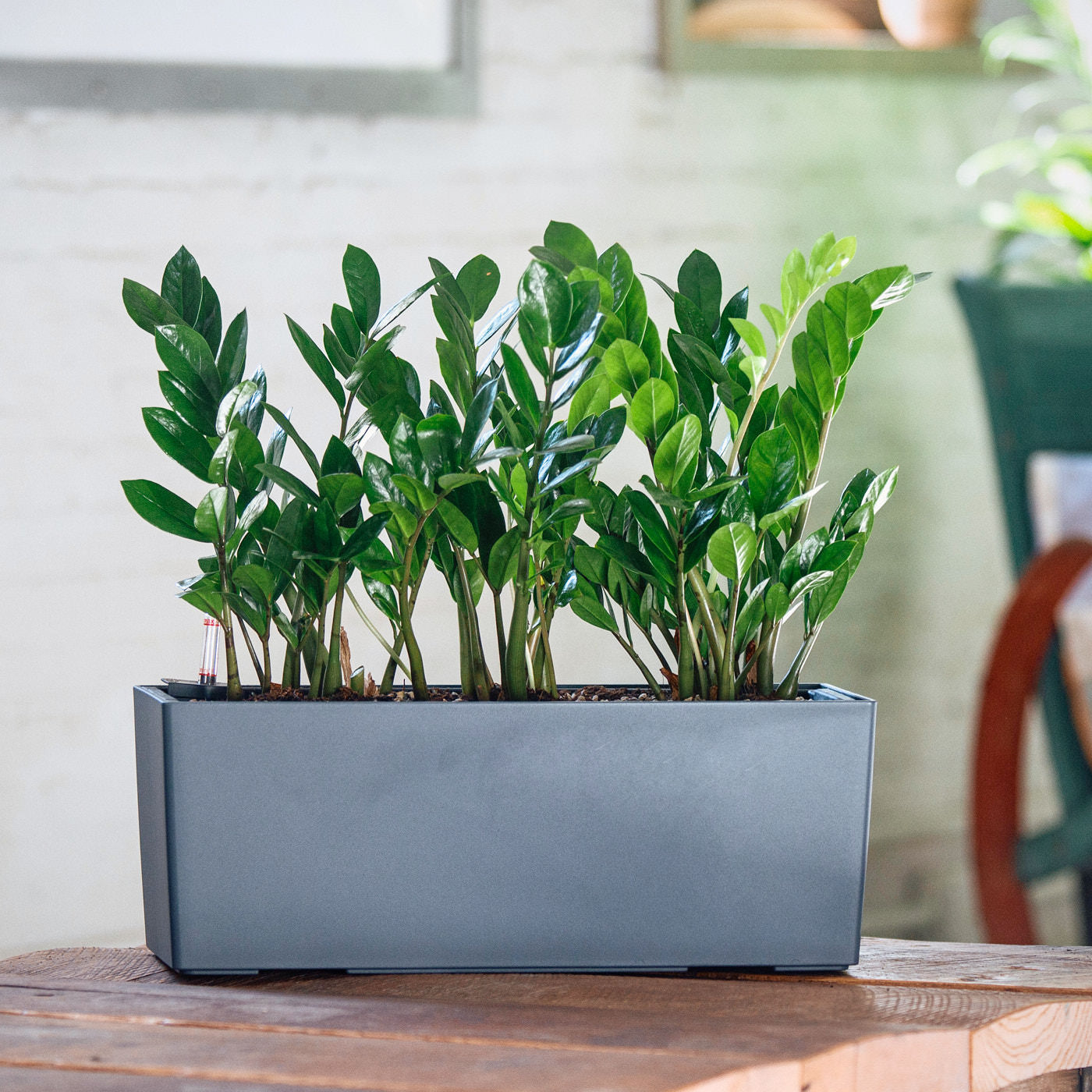 ZZ Plant Potted In Lechuza Balconera Slate Planter | My City Plants