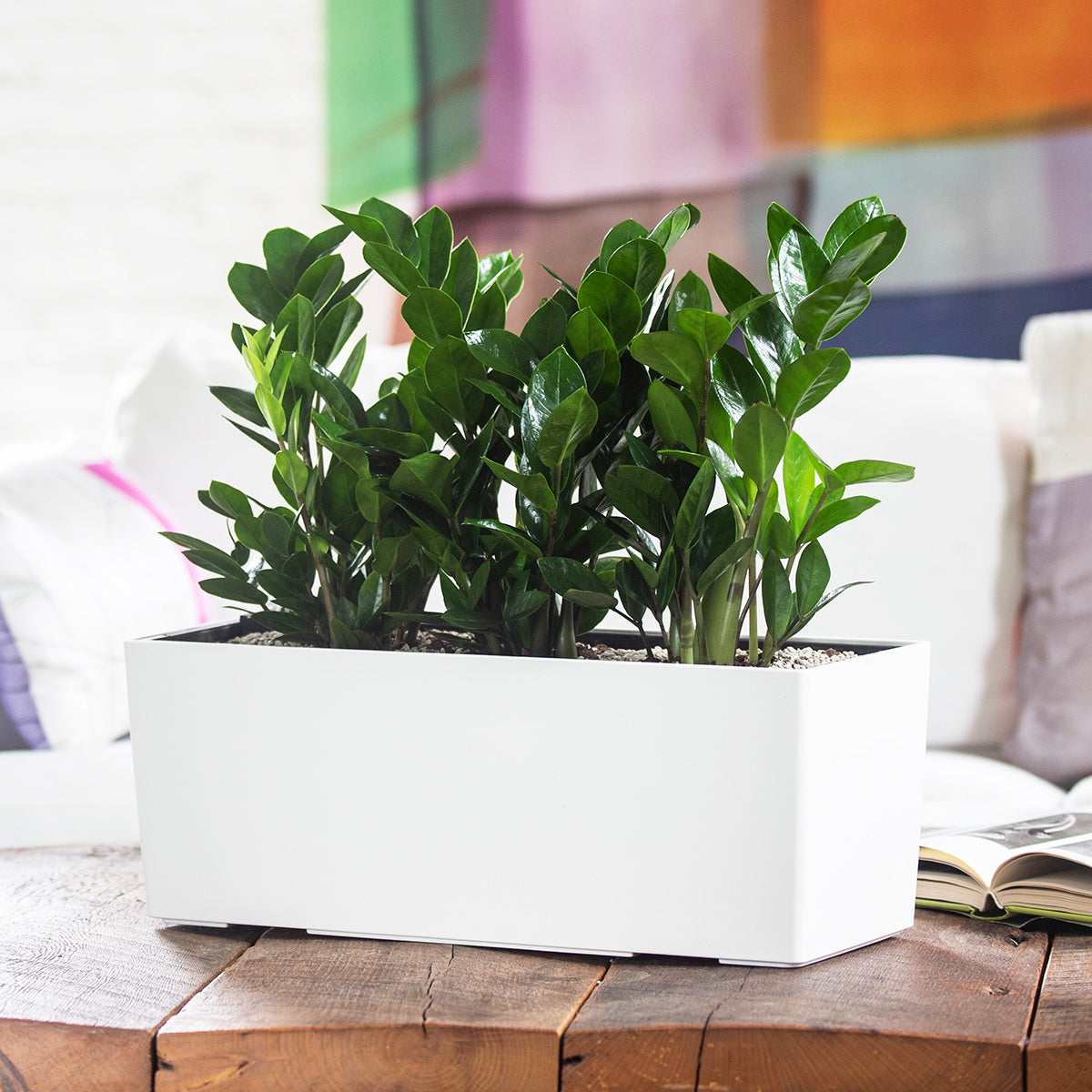 ZZ plant potted in Lechuza Balconera white self-watering planter - My City Plants