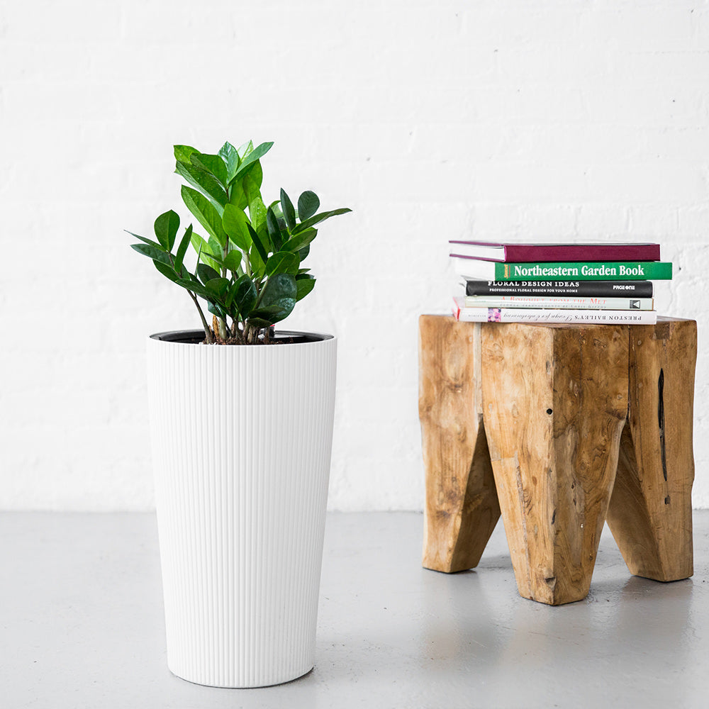 ZZ Plant Potted In Elegant Cilindro Planter - Shop Online - My City Plants