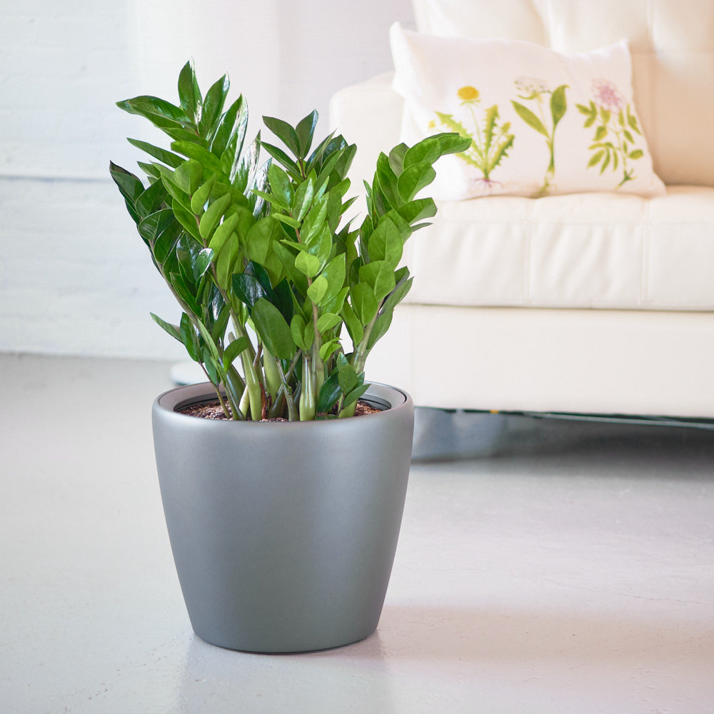 "ZZ plant potted in 14"" Classico charcoal metallic planter"
