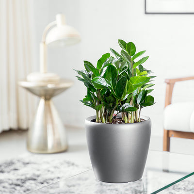ZZ Plant Potted In Mini Classico Charcoal Planter - Shop Online - My City Plants