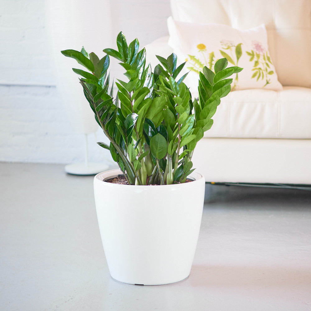 "ZZ plant potted in 14"" Classico white planter"