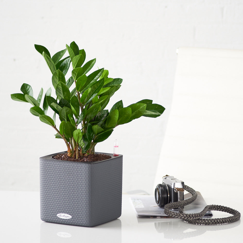 ZZ Plant Placed In Lechuza Slate Cube Planters - My City Plants