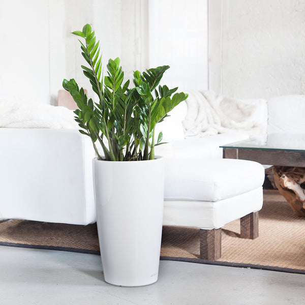 Zz Plant Potted In Elegant Rondo White Planter My City
