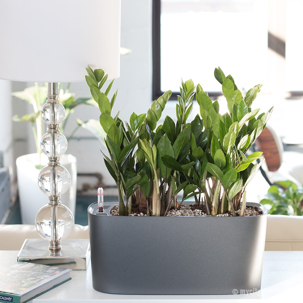 ZZ Plant Windowsill Charcoal Metallic