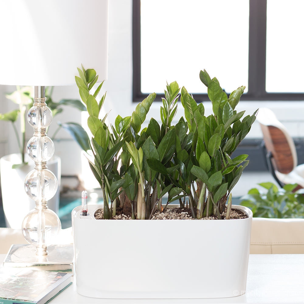 ZZ Plant Windowsill White