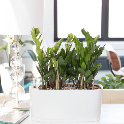 ZZ Plant Windowsill