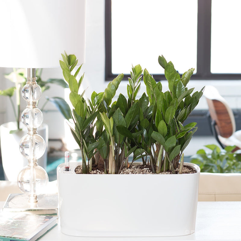 Zz plant potted in windowsill planter sub irrigation system - Houseplants thrive low light youre window sill ...
