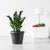 ZZ Plant Potted In Lechuza Rustico Graphite Black Planter - Shop Online - My City Plants