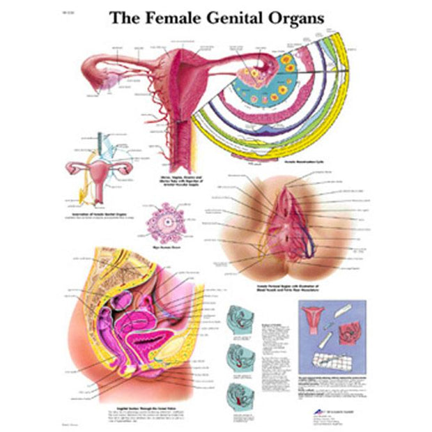 Laminated Female Genital Organs Chart