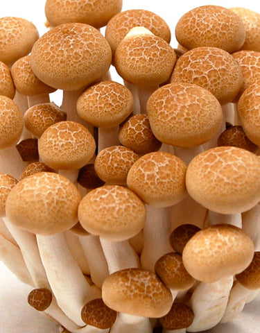 Wine Forest Wild Foods Cultivated Beech Mushrooms