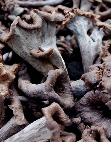 Wine Forest Wild Foods Wild Bible - The Wild Black Trumpet Mushroom