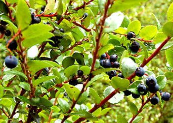 Wine Forest Wild Foods Wild Bible wild bush huckleberries