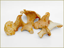 Wine Forest Wild Foods wholesale wild white chanterelle mushrooms