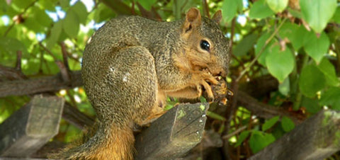 The Wine Forest Blog a squirrel eating hulled walnuts