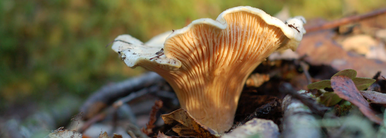 An unwavering awe for the beauty of nature has inspired Wine Forest to share our knowledge in The Wild Bible, like this entry on chanterelle mushrooms