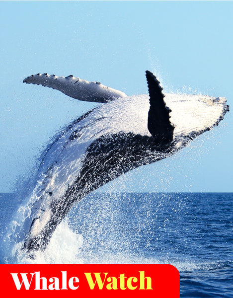 Whale Watching Cruise - Mooloolaba (June - Oct)
