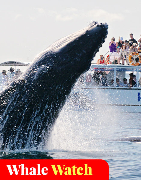 Whale Watching Hervey Bay (Jul - Oct)