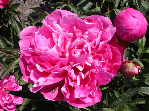 How to Plant a Herbaceous or Intersectional Peony
