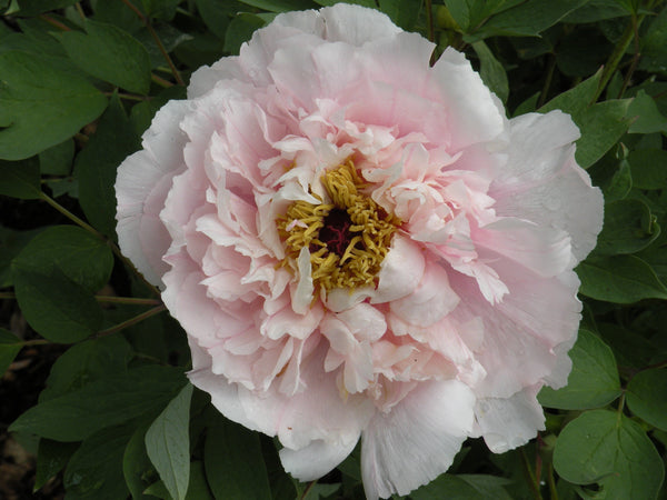 Chinese Peony Poems