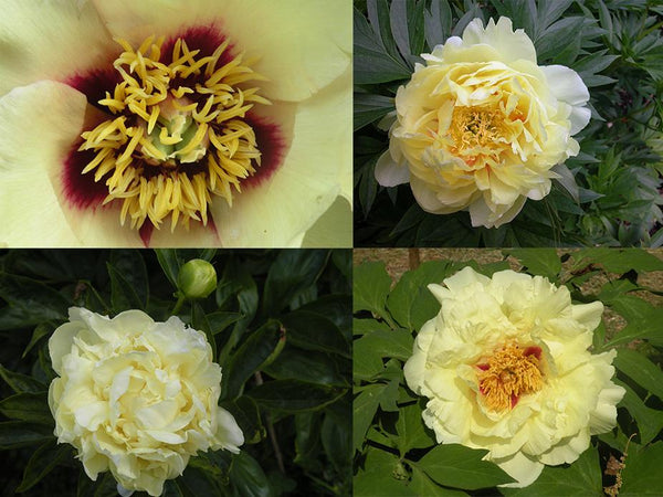 Yellow Peonies: From the Wild and Into the Garden