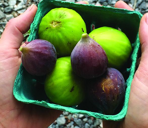 How to Grow Figs in Cool Climates
