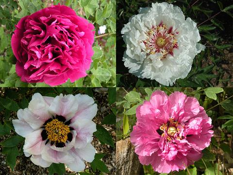 Paeonia rockii and Gansu Mudan: Peonies from China's Wild West