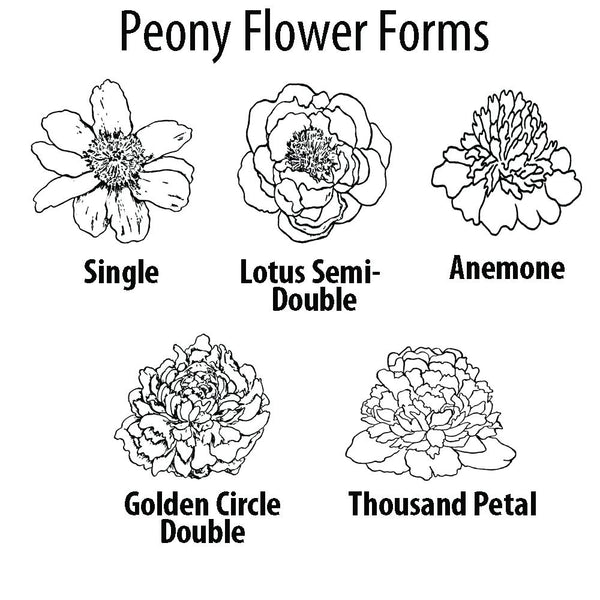 Peony Flower Forms