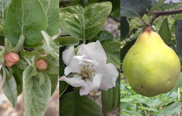Quince: The Golden Apple of Ancient Greece
