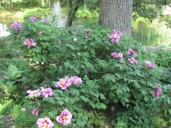 How to Plant a Tree Peony