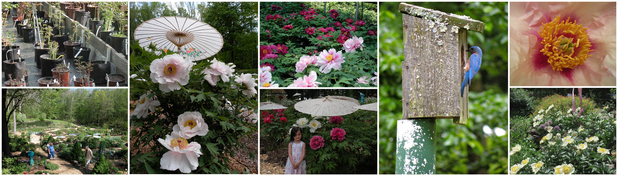 Charmant We Invite Peony Lovers From Near And Far To Enjoy Peony Heaven In Bloom.  Some Of The Tree Peonies In Our Display Garden Are Reaching An Impressive  Size And ...